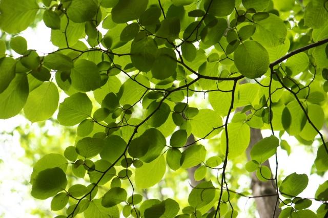 白雲木の新緑-01