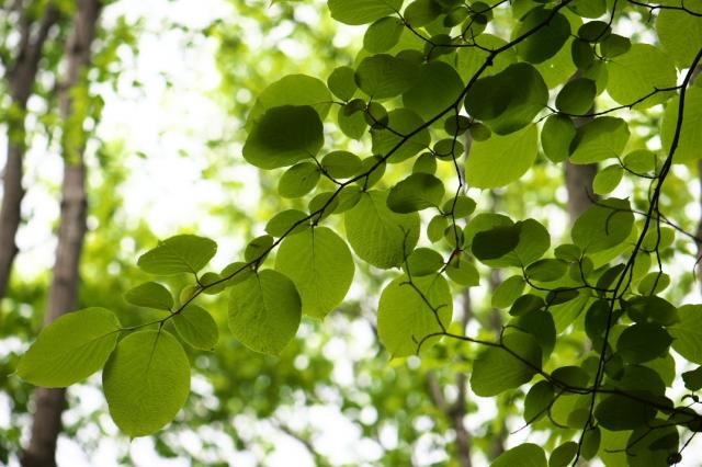 白雲木の新緑-02