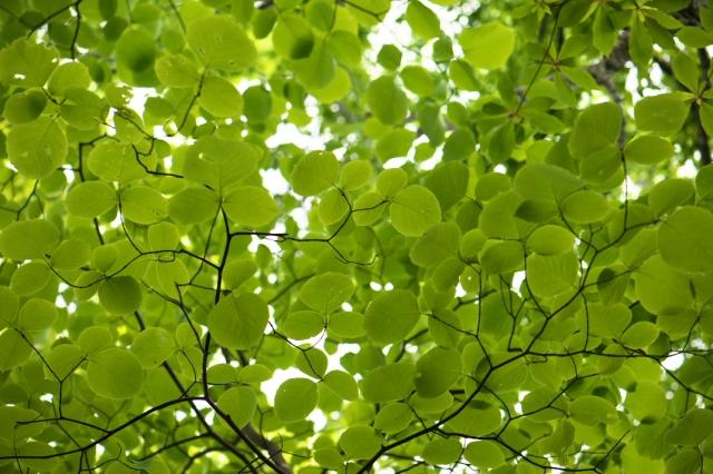 白雲木の新緑-03