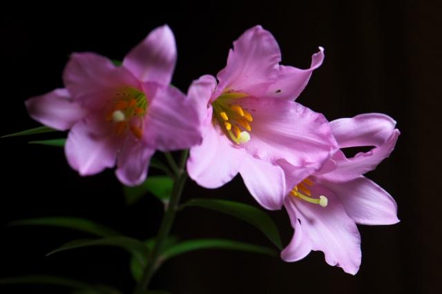 ヒメサユリの花-04