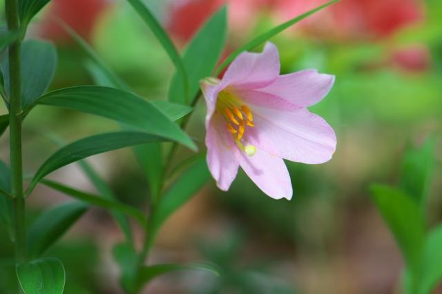 ヒメサユリの花-11