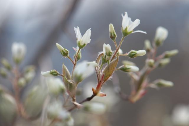 ジューンベリーの花-3