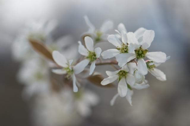 ジューンベリーの花-1