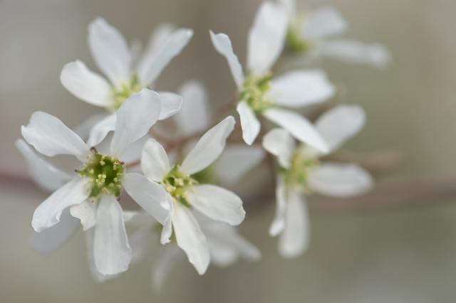 ジューンベリーの花-2