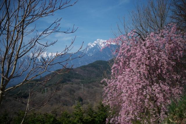 甲斐駒ヶ岳-しだれ桜