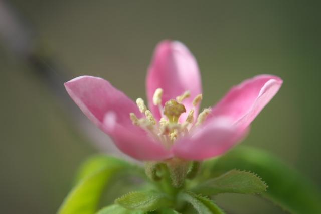 カリンの花-3