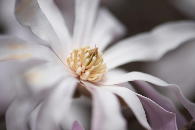 シデコブシの花-1