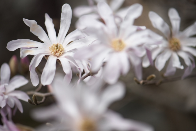 シデコブシの花-2
