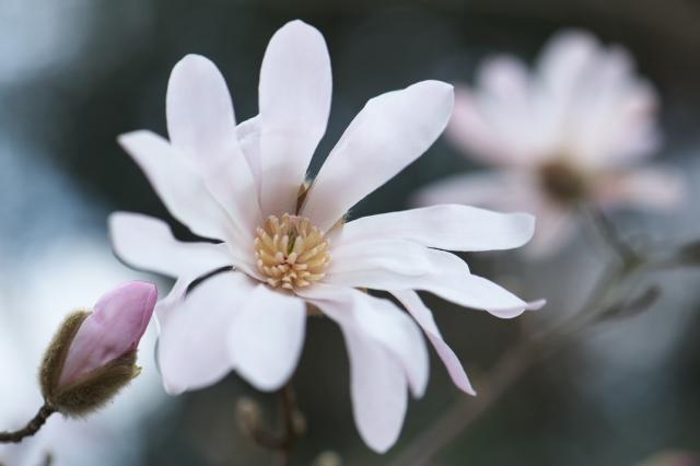 シデコブシの花-3