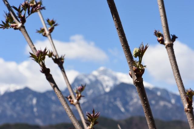ニワトコの花芽-2