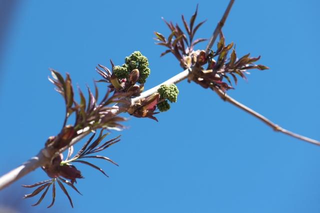 ニワトコの花芽-3