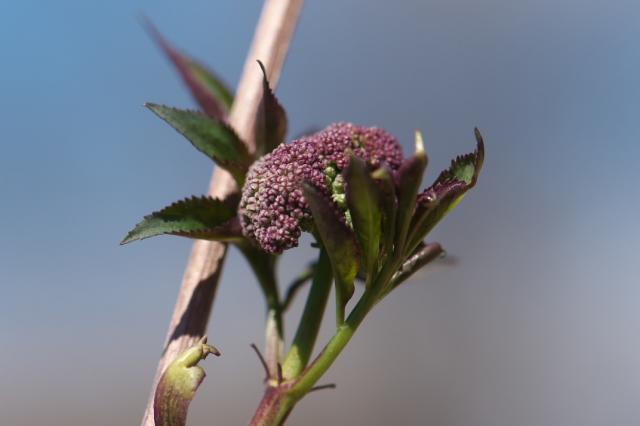 ニワトコの花芽-1