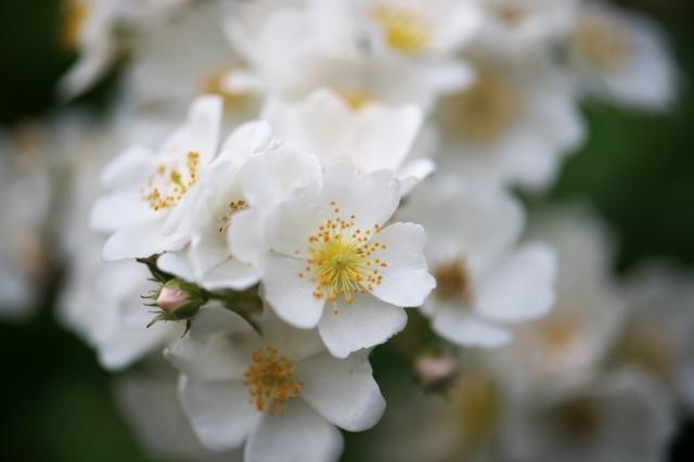 Rosa multiflora-01