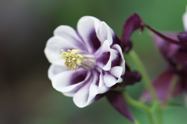 Aquilegia vulgaris 'Blackberry ' -02