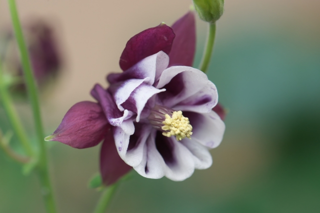 Aquilegia vulgaris 'Blackberry ' -01