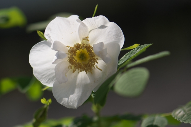 白花オオタカネバラ-1