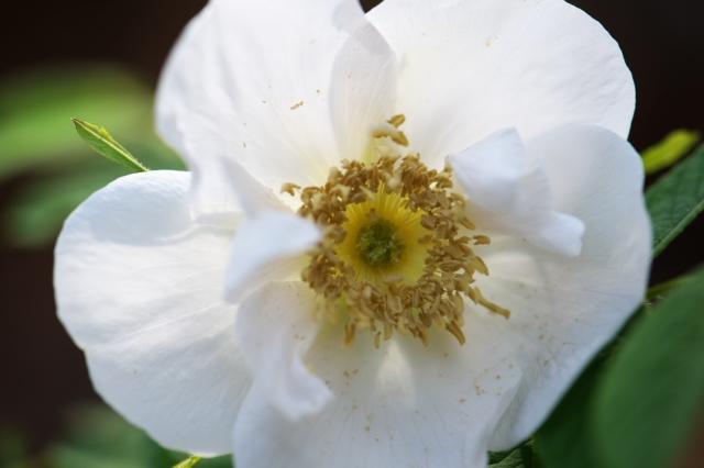 白花オオタカネバラ-2