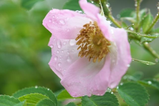 Rosa davidii-01