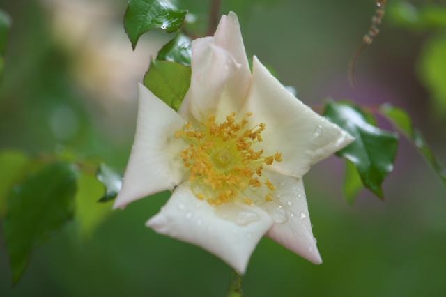 Rosa gigantea-00