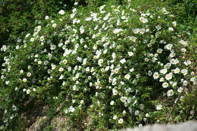 Rosa laevigata-11