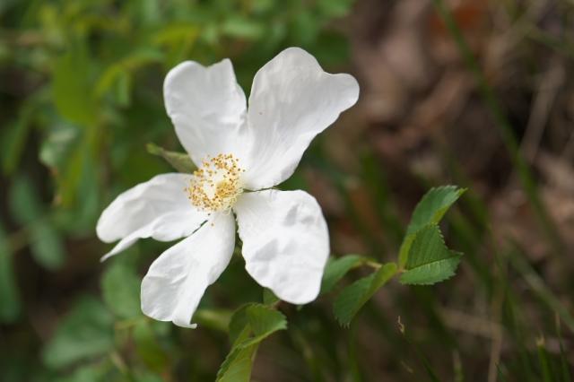 Rosa.paulii-02