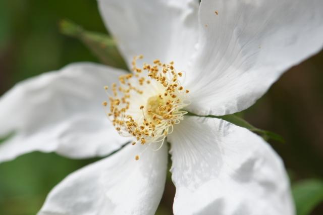 Rosa.paulii-03
