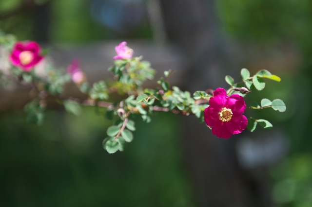 ロサ ウイルモッテア. Rosa willmottiae-02