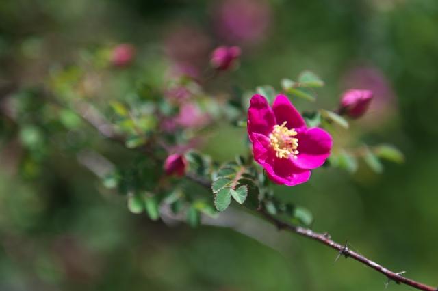 ロサ ウイルモッテア. Rosa willmottiae-00