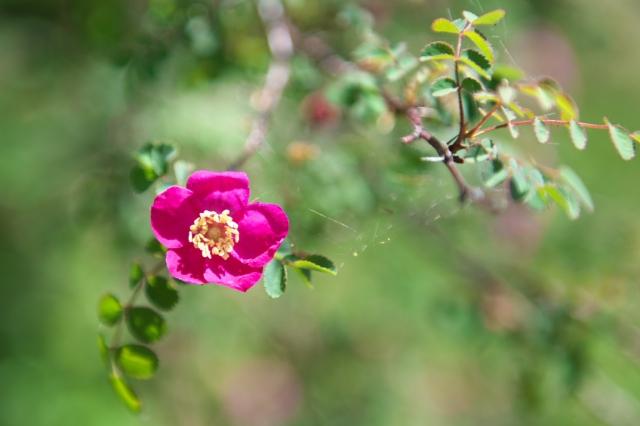 ロサ ウイルモッテア. Rosa willmottiae-04