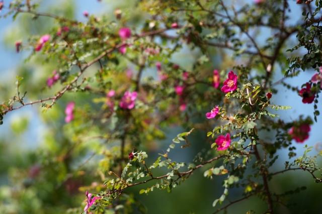 ロサ ウイルモッテア. Rosa willmottiae-03
