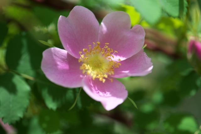Rosa woodsii var fendleri-02