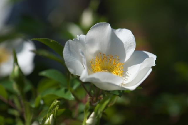 Rosa.laevigata-03