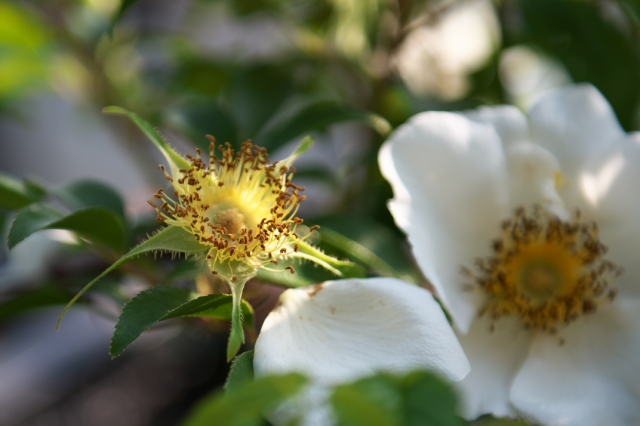 ナニワイバラ(Rosa.laevigata)のしべ-02