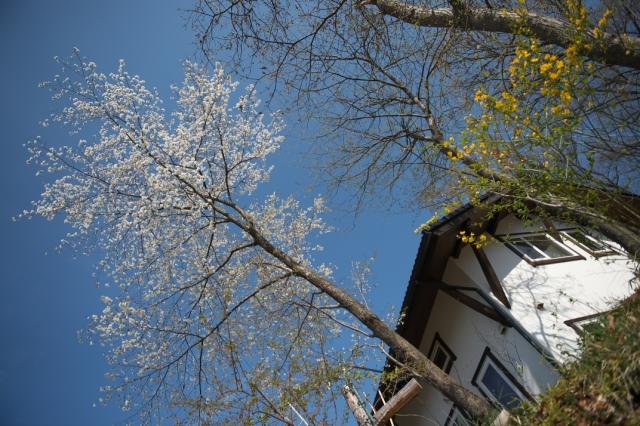 シンボルツリーの山桜-3