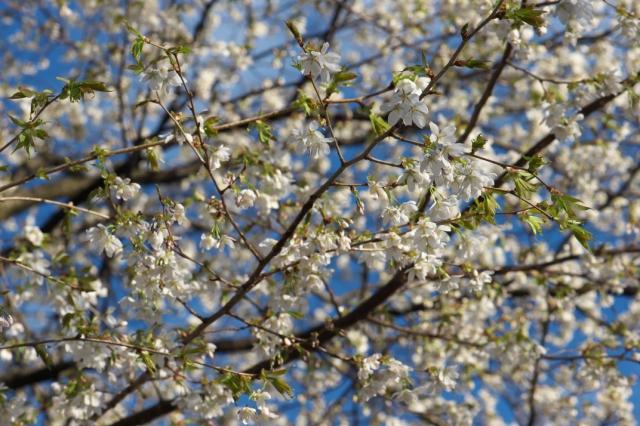 シンボルツリーの山桜-1