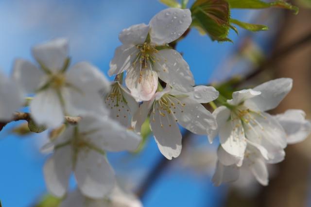 シンボルツリーの山桜-2