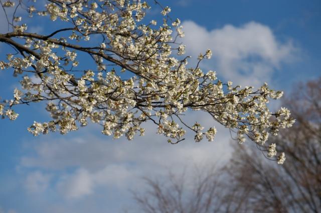 シンボルツリーの山桜-4