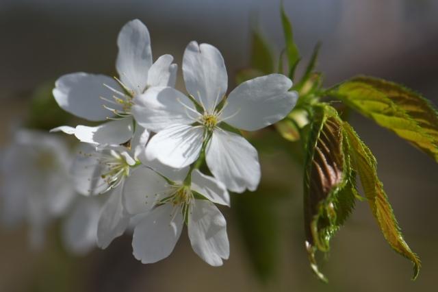 シンボルツリー山桜-2
