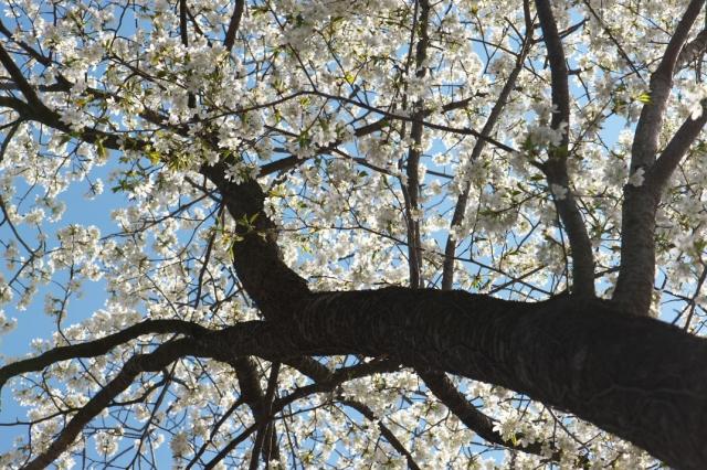 シンボルツリー山桜-3