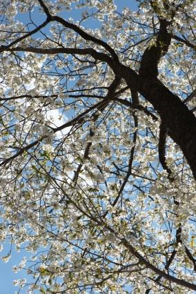 シンボルツリー山桜-0