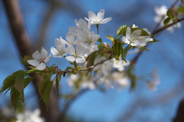 シンボルツリー山桜-1