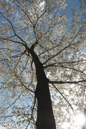 シンボルツリー-山桜-5