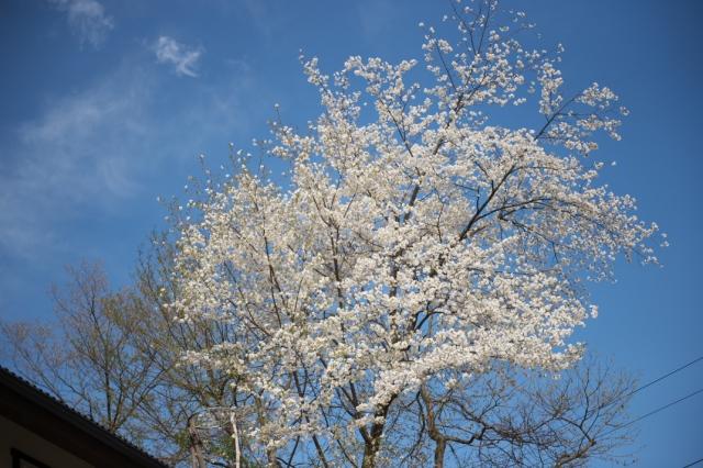 シンボルツリー山桜-4