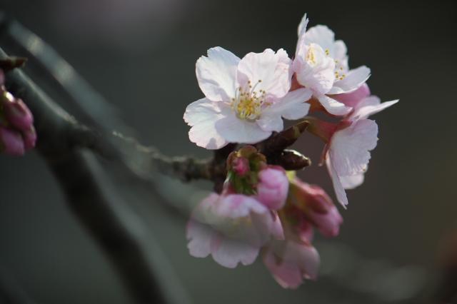 早咲き桜-2