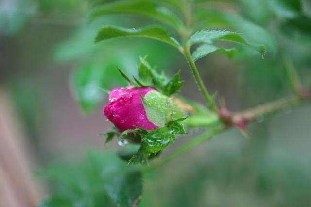 八重咲きサンショウバラ蕾-01