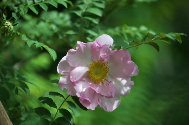 八重咲きサンショウバラ-01