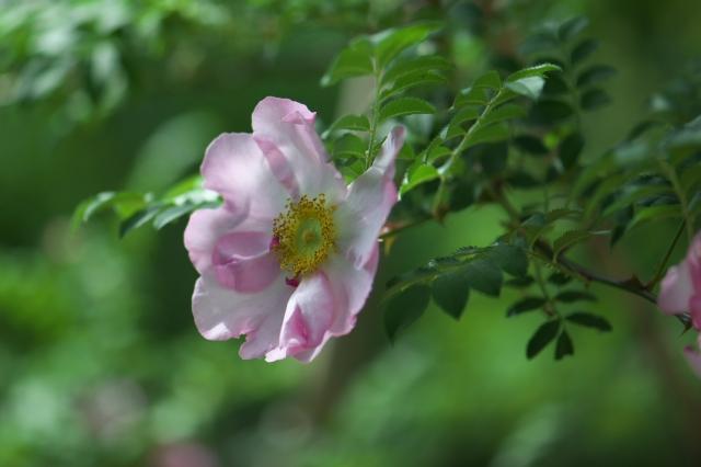 八重咲きサンショウバラ-02