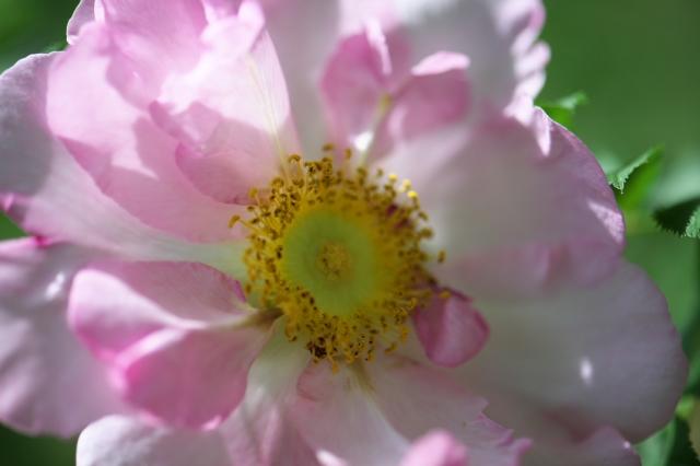 八重咲きサンショウバラ-03