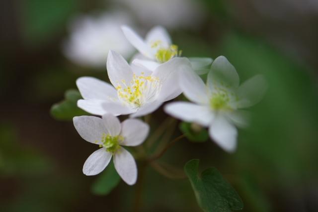 白花バイカカラマツ-2