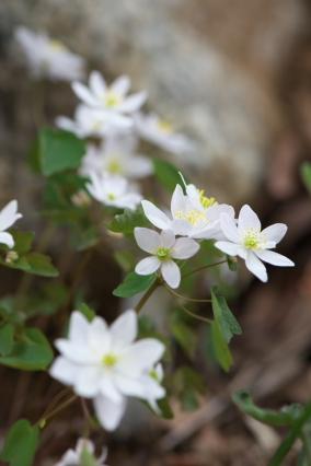 白花バイカカラマツ-4